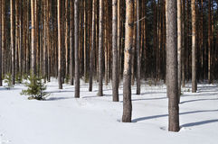 Pine trunks in winter forest edge Royalty Free Stock Photography