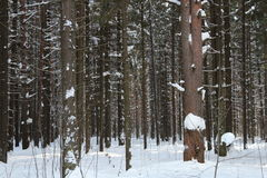 Pine trunks in winter forest Royalty Free Stock Photo