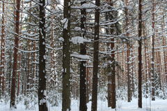 Pine trunks in winter forest Stock Photos