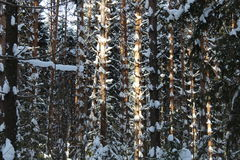 Pine trunks in winter forest Royalty Free Stock Photography
