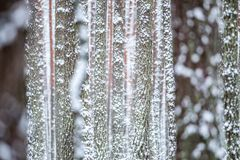 Pine trunks in winter. Forest Stock Photography