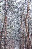 Pine trunks in the wood. Pine trunks in the winter forest Stock Photography