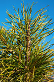 Pine twig on blue sky background. Outdoors. Stock Photography