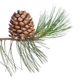 Pine twig and cone Stock Photography
