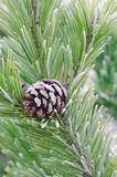 Pine twig with cone Stock Image