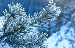 Pine twig covered with frost. Pine twig covered with frost of winter sunlight reflections Royalty Free Stock Images