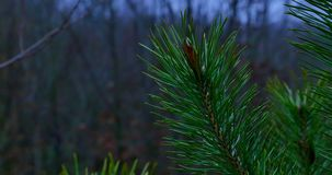 Pine twig with drops after the rain.  stock video footage
