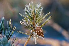 Pine twig Royalty Free Stock Images