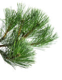 Pine twig Royalty Free Stock Photography