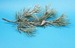 Pine twig with snow Royalty Free Stock Image