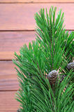 Pine twigs with cons Royalty Free Stock Image
