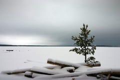 Pine under snow. At Onega lake Stock Photos