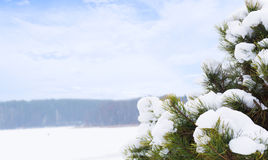 Pine under snow Stock Image