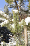 Pine under snow Stock Images