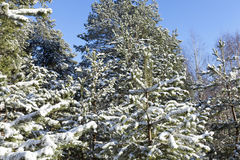 Pine under snow Royalty Free Stock Photo