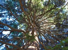 Pine. view from below. Stock Image