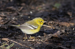 Pine Warbler Royalty Free Stock Photo