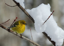 Pine Warbler. Perched near snowy branch Royalty Free Stock Photos