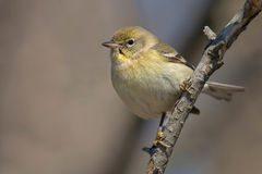 Pine Warbler Stock Photography