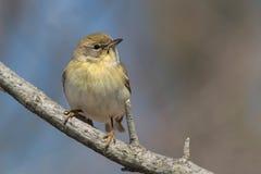 Pine Warbler royalty free stock photo