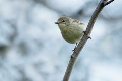 Pine Warbler. Female Pine Warbler perched on a branch. Ashbridges Bay Park, Toronto, Ontario, Canada Stock Photography