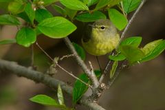 Pine Warbler. Female Pine Warbler perched on a branch. Ashbridges Bay Park, Toronto, Ontario, Canada Stock Photos