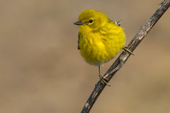 Pine Warbler Stock Photos