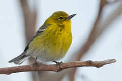 Pine Warbler royalty free stock images