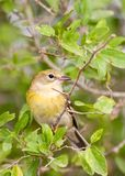Pine warbler perched in a spiny hackberry. A pine warbler (Dendroica pinus) perched in a spiny hackberry (Celtis pallida) in southern Texas Royalty Free Stock Image