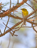 Pine Warbler Royalty Free Stock Photography
