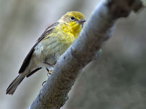 Pine Warbler Stock Images