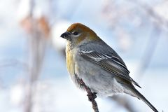 Pine Warbler Song Bird. A close up image of a Pine Warbler song bird perched in a tree branch during winter royalty free stock photos