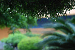 Pine with water drop. In temple on the Mount Putuo Royalty Free Stock Photos