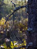 Spiderweb attached to a pine tree Royalty Free Stock Photos