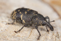 Pine weevil Royalty Free Stock Photography