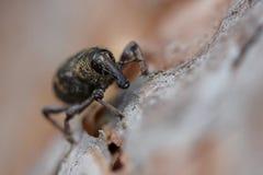 Pine weevil closeup stock photo