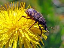 Pine weevil (Hylobius abietis) Stock Photos