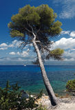 Pine in western coast of Corsica Stock Image