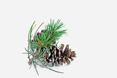 A pine Royalty Free Stock Images