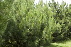Pine in the wild Royalty Free Stock Photography
