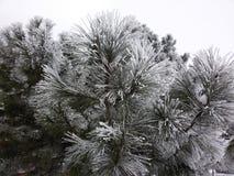 Pine in winter Stock Image