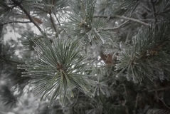 Pine in Winter. A closeup of pine branches in winter Stock Photo