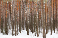 Pine winter forest Stock Photos