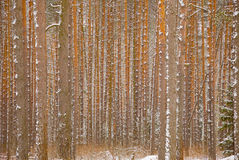 Pine winter forest - trunks of trees Stock Photos