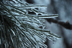 Pine winter ice needles background. Pine winter ice needles and branch in cold tones Stock Photos