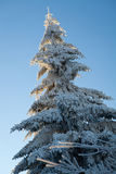 Pine during winter season, Bulgaria Stock Image