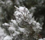 Pine-wood το χειμώνα Στοκ Εικόνα