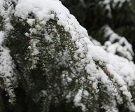 Pine-wood το χειμώνα Στοκ Φωτογραφία