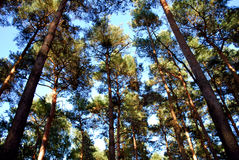 Pine wood Royalty Free Stock Photography
