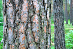 Pine wood Stock Photography